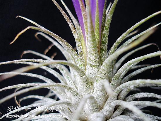 空氣鳳梨 Tillandsia ionantha Zebrian  斑馬小精靈7 (1).jpg