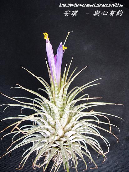 空氣鳳梨 Tillandsia ionantha Zebrian  斑馬小精靈13 (1).jpg