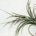 空氣鳳梨 Tillandsia tenuifolia 'White Flower' 白花紫水晶1 (1).jpg