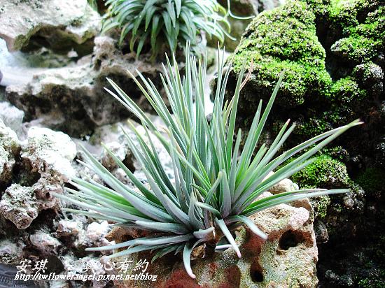空氣鳳梨 Tillandsia tenuifolia 'White Flower' 白花紫水晶2 (1).jpg
