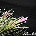 空氣鳳梨 Tillandsia tenuifolia 'White Flower' 白花紫水晶4 (1).jpg