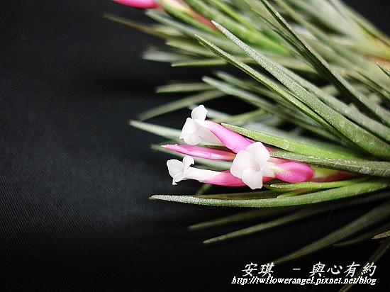 空氣鳳梨 Tillandsia tenuifolia 'White Flower' 白花紫水晶5 (1).jpg