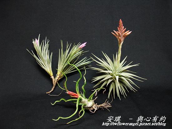 空氣鳳梨 Tillandsia tenuifolia 'White Flower' 白花紫水晶6 (1).jpg