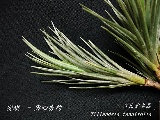 空氣鳳梨 Tillandsia tenuifolia 'White Flower' 白花紫水晶7 (1).jpg
