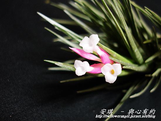空氣鳳梨 Tillandsia tenuifolia 'White Flower' 白花紫水晶9 (1).jpg