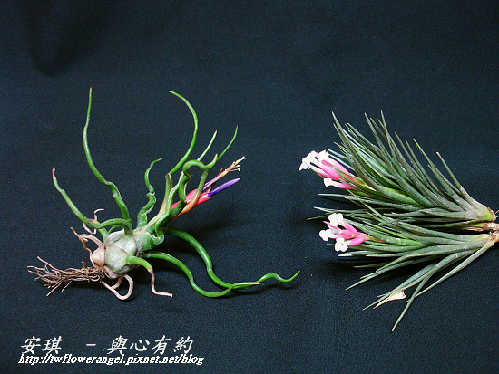 空氣鳳梨 Tillandsia tenuifolia 'White Flower' 白花紫水晶10 (1).jpg