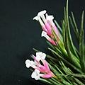 空氣鳳梨 Tillandsia tenuifolia 'White Flower' 白花紫水晶11 (1).jpg
