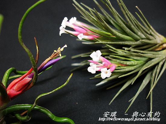 空氣鳳梨 Tillandsia tenuifolia 'White Flower' 白花紫水晶12 (1).jpg