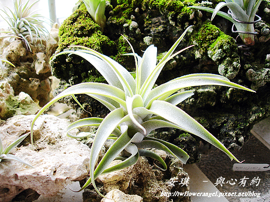 空氣鳳梨 Tillandsia cacticola  卡地可樂 1 (1).jpg