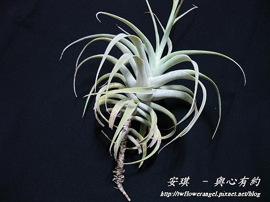 空氣鳳梨 Tillandsia cacticola  卡地可樂 3 (1).jpg
