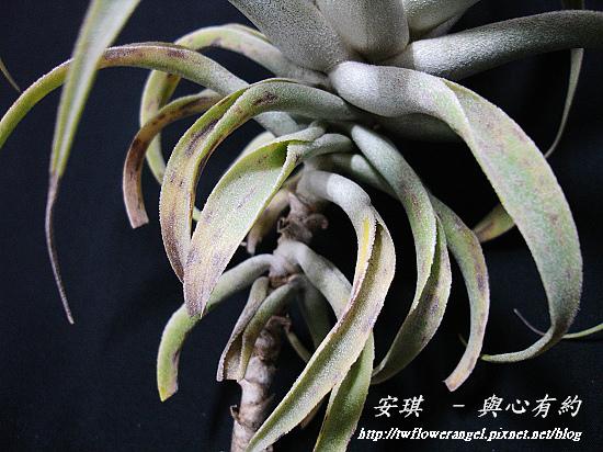 空氣鳳梨 Tillandsia cacticola  卡地可樂 4 (1).jpg