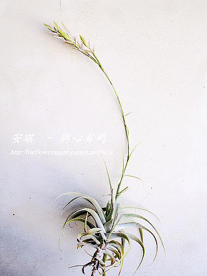 空氣鳳梨 Tillandsia cacticola  卡地可樂 5 (1).jpg