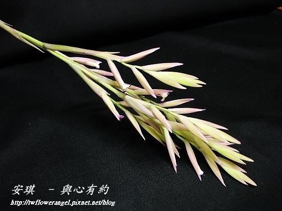 空氣鳳梨 Tillandsia cacticola  卡地可樂 8 (1).jpg