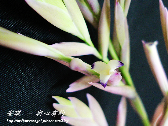 空氣鳳梨 Tillandsia cacticola  卡地可樂 10 (1).jpg