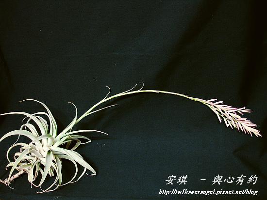 空氣鳳梨 Tillandsia cacticola  卡地可樂 12 (1).jpg