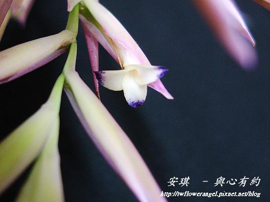 空氣鳳梨 Tillandsia cacticola  卡地可樂 15 (1).jpg