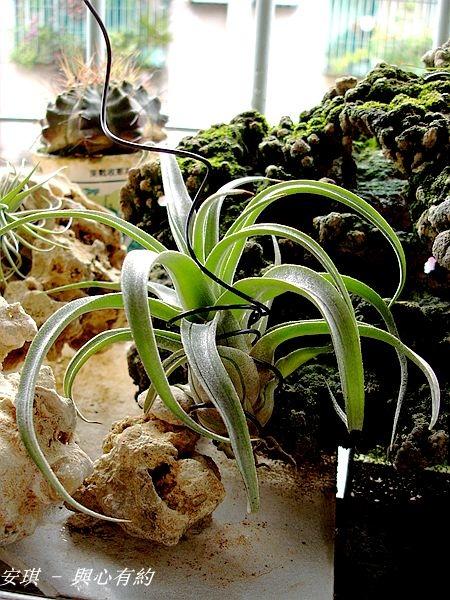 空氣鳳梨 Tillandsia streptophylla 電捲燙1 (2).jpg