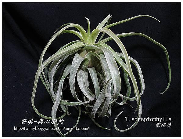 空氣鳳梨 Tillandsia streptophylla 電捲燙2 (2).jpg