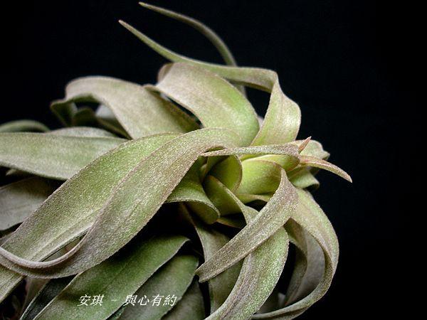空氣鳳梨 Tillandsia streptophylla 電捲燙5 (2).jpg