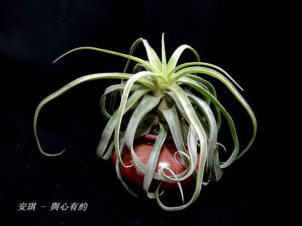 空氣鳳梨 Tillandsia streptophylla 電捲燙4 (2).jpg