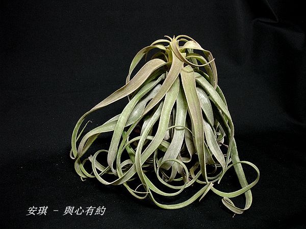 空氣鳳梨 Tillandsia streptophylla 電捲燙8 (2).jpg