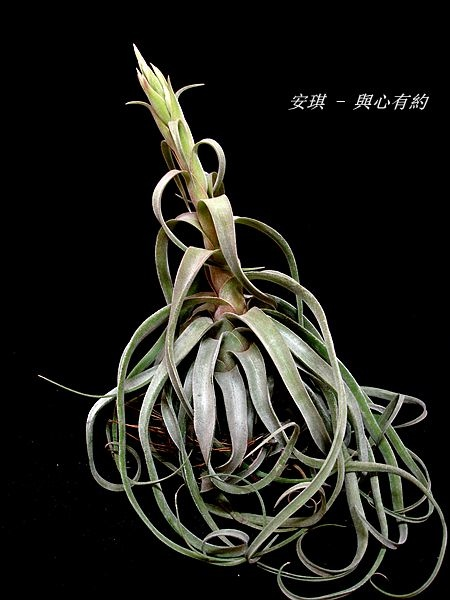空氣鳳梨 Tillandsia streptophylla 電捲燙9 (2).jpg