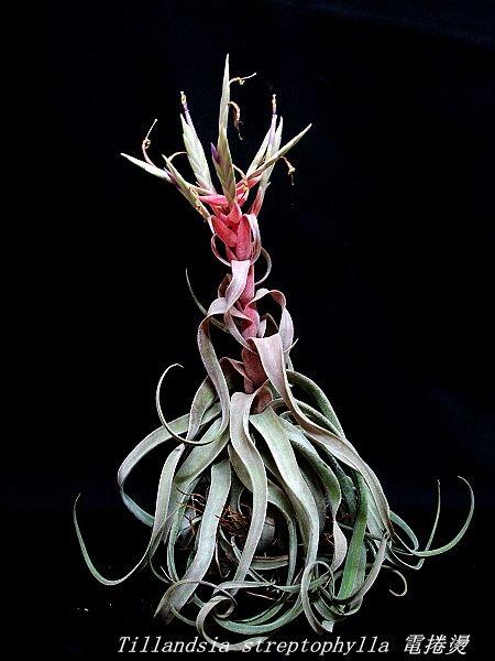 空氣鳳梨 Tillandsia streptophylla 電捲燙10 (2).jpg