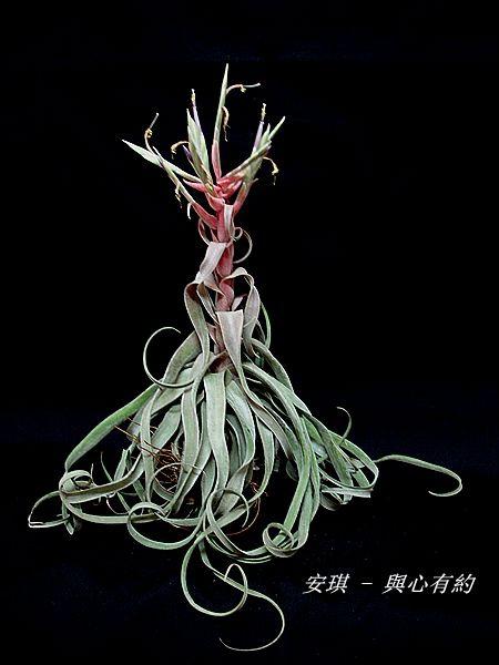 空氣鳳梨 Tillandsia streptophylla 電捲燙12 (2).jpg