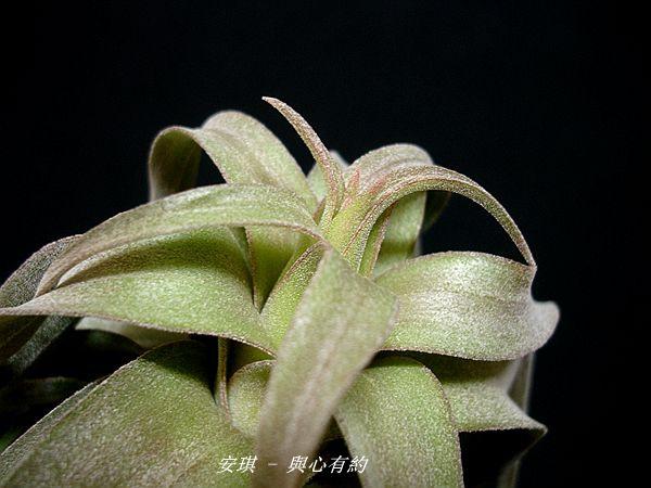 空氣鳳梨 Tillandsia streptophylla 電捲燙15 (2).jpg