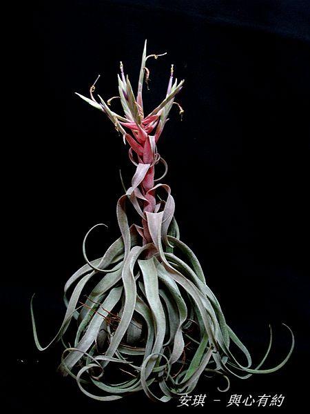 空氣鳳梨 Tillandsia streptophylla 電捲燙14 (2)