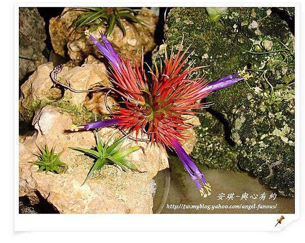 空氣鳳梨 Tillandsia 花生米小精靈 9 (1).jpg