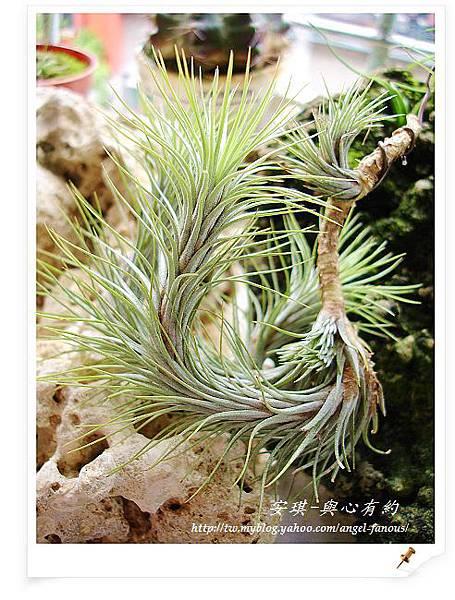 空氣鳳梨 Tillandsia funckiana  狐狸尾1 (1).jpg