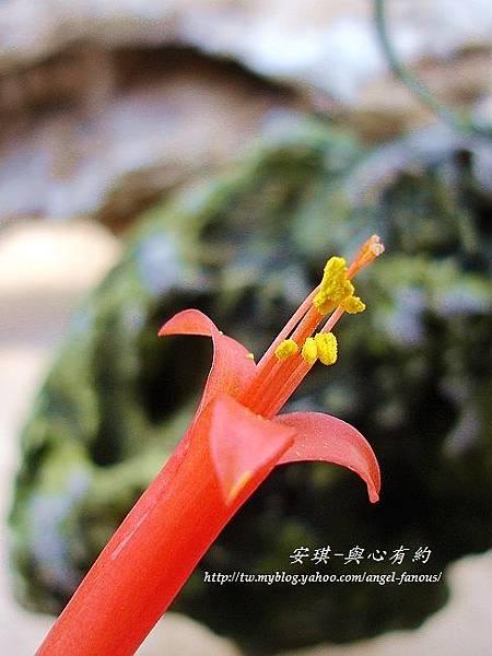 空氣鳳梨 Tillandsia funckiana  狐狸尾9 (1).jpg