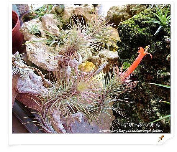 空氣鳳梨 Tillandsia funckiana  狐狸尾15 (1).jpg