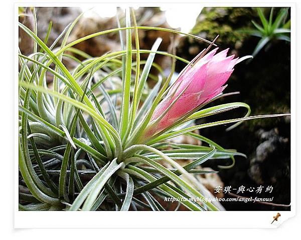 空氣鳳梨 Tillandsia stricta 多國花 第2年開花2 (2).jpg