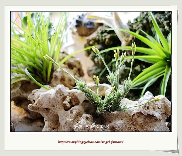 空氣鳳梨 Tillandsia tricholepsis 草皮鳳2 (1).jpg