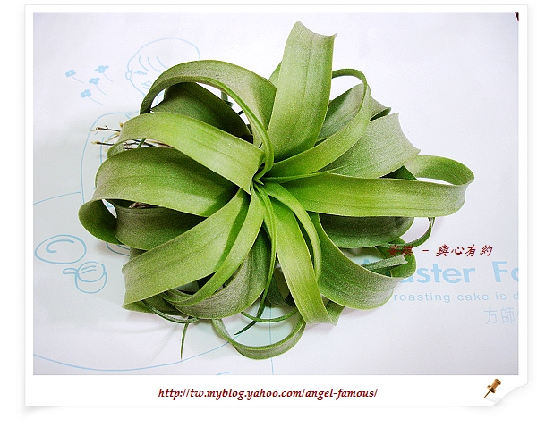 空氣鳳梨 Tillandsia streptophylla × xerographica 電捲燙×霸王鳳1 (1).jpg