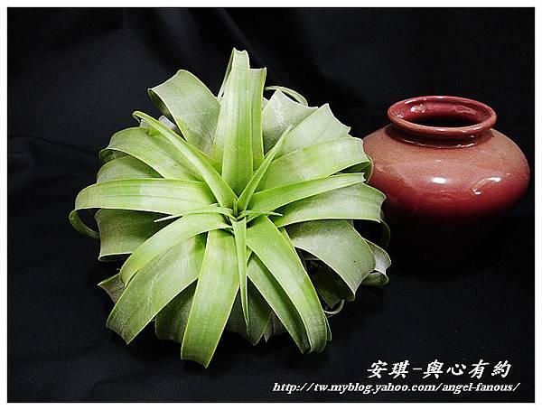 空氣鳳梨 Tillandsia streptophylla × xerographica 電捲燙×霸王鳳3 (1).JPG