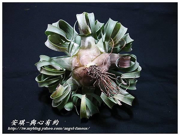 空氣鳳梨 Tillandsia streptophylla × xerographica 電捲燙×霸王鳳5 (1).jpg