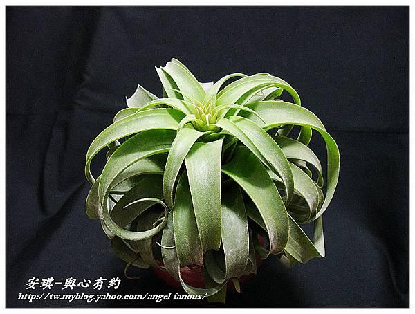 空氣鳳梨 Tillandsia streptophylla × xerographica 電捲燙×霸王鳳6 (1).jpg