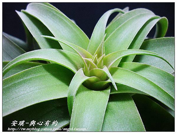 空氣鳳梨 Tillandsia streptophylla × xerographica 電捲燙×霸王鳳7 (1).jpg