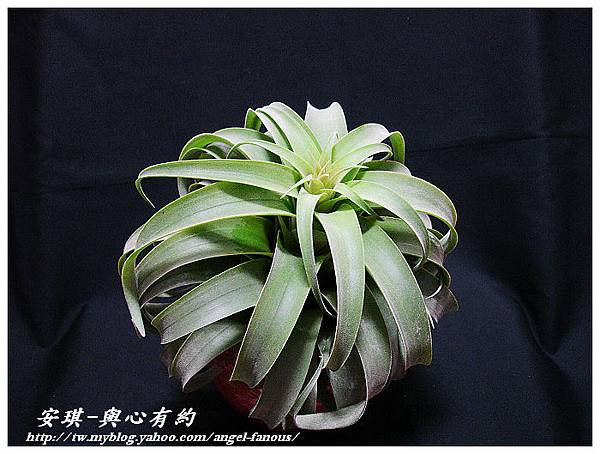 空氣鳳梨 Tillandsia streptophylla × xerographica 電捲燙×霸王鳳8 (1).jpg