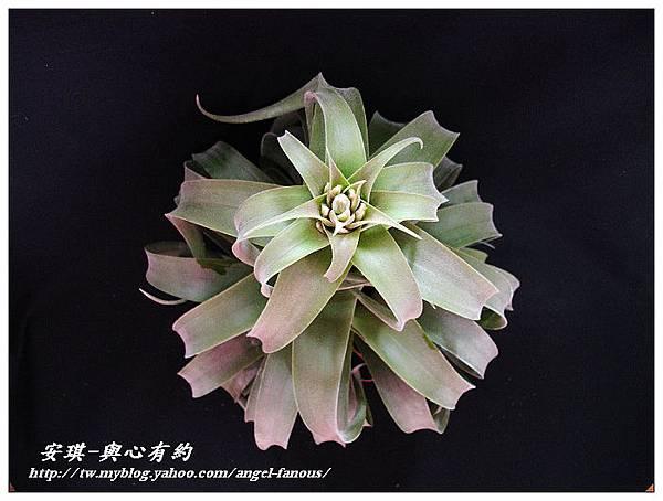 空氣鳳梨 Tillandsia streptophylla × xerographica 電捲燙×霸王鳳11 (1).jpg