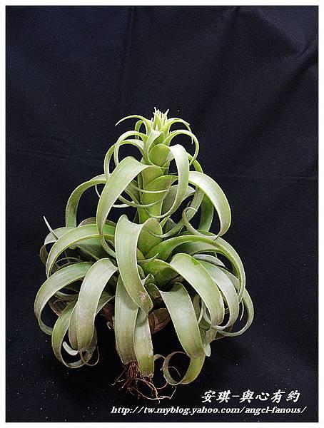 空氣鳳梨 Tillandsia streptophylla × xerographica 電捲燙×霸王鳳12 (1).jpg