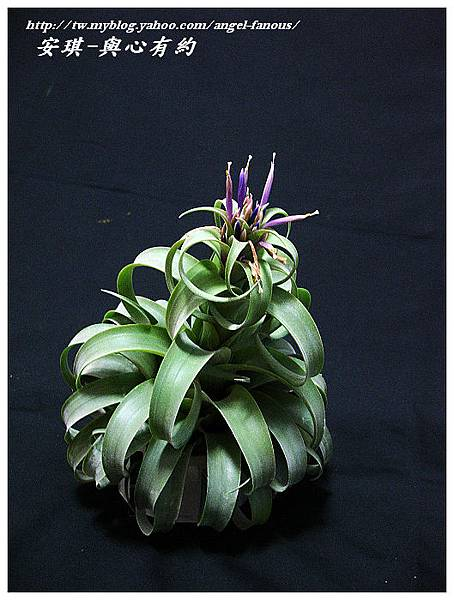 空氣鳳梨 Tillandsia streptophylla × xerographica 電捲燙×霸王鳳13 (1).jpg