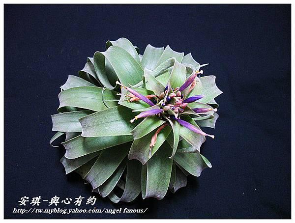 空氣鳳梨 Tillandsia streptophylla × xerographica 電捲燙×霸王鳳14 (1).jpg