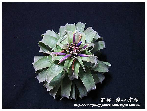 空氣鳳梨 Tillandsia streptophylla × xerographica 電捲燙×霸王鳳15 (1).jpg