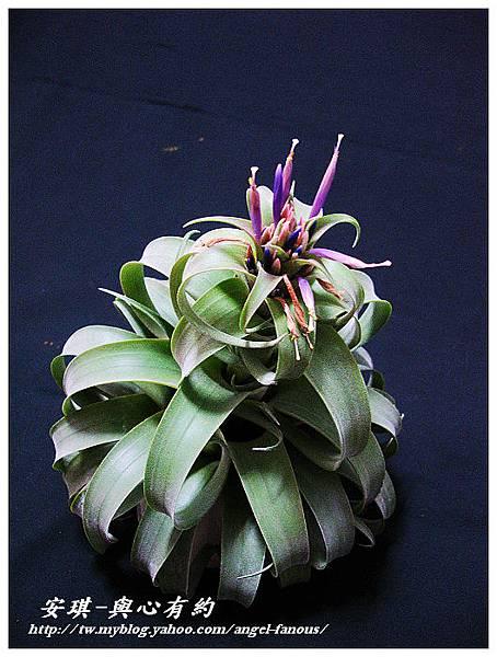 空氣鳳梨 Tillandsia streptophylla × xerographica 電捲燙×霸王鳳16 (1).jpg