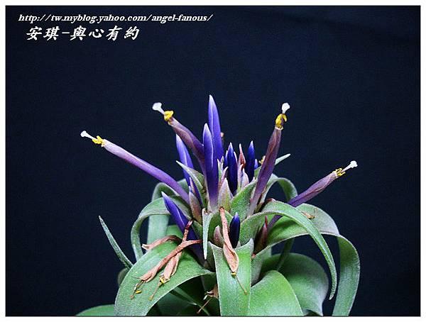 空氣鳳梨 Tillandsia streptophylla × xerographica 電捲燙×霸王鳳17 (1).jpg
