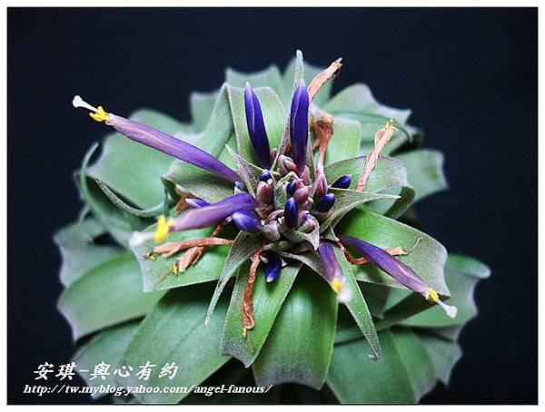 空氣鳳梨 Tillandsia streptophylla × xerographica 電捲燙×霸王鳳18 (1).jpg